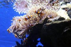 Clownvissen in een aquarium stock afbeelding
