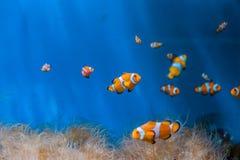 Clownvissen en anemonen op een blauwe achtergrond stock foto's