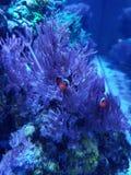 Clownvissen en anemoon royalty-vrije stock afbeeldingen