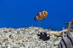 Clownvissen en de domino van dascyllustrimaculatus Royalty-vrije Stock Fotografie