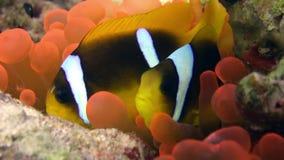 Clownvissen in het heldere oranje overzees van Anemone Actinidae van de kleurenbel onderwater Rode stock footage
