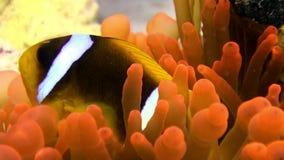 Clownvissen in het heldere oranje overzees van Anemone Actinidae van de kleurenbel onderwater Rode stock videobeelden