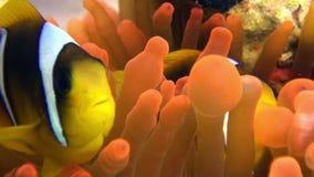 Clownvissen in het heldere oranje overzees van Anemone Actinidae van de kleurenbel onderwater Rode stock video