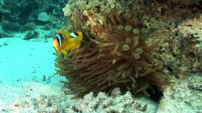 Clownvissen in het onderwater Rode overzees van Bellenanemone actinidae stock video