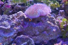 Clownvissen met zeeanemoonkoraal bij donker licht aquarium royalty-vrije stock afbeelding