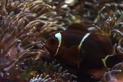 Clownvissen onder anemonen stock foto's