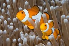 Clownvissen terwijl het bekijken u van anemoon stock foto's