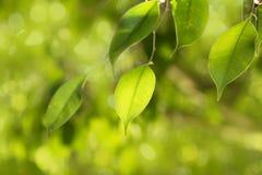 Clse vers le haut de feuille verte sur le style d'abrégé sur nature de branche Photos libres de droits