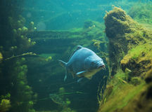 Clsoe su sul Cyprinus carpio in acqua dolce Immagini Stock Libere da Diritti
