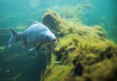Clsoe su sul Cyprinus carpio in acqua dolce Fotografia Stock