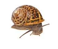 Clsoe up of Burgundy (Roman) snail Royalty Free Stock Photo