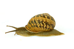 Clsoe up of Burgundy (Roman) snail. Isolated on white background Stock Photography