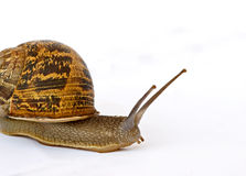 Clsoe up of Burgundy (Roman) snail. Isolated on white background Royalty Free Stock Image