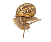 Clsoe up of Burgundy snail Royalty Free Stock Photography