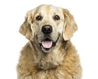 Clsoe-up of a Golden retriever panting, isolated Royalty Free Stock Photography