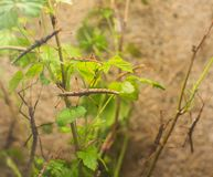 Clsoe up on Phasmatidae on the leaf royalty free stock image