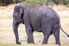 Clsoe upp av den stora lösa indiska elefanten Arkivfoto