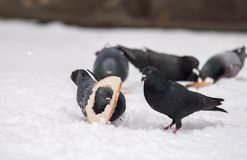 Clsose up on two pigeons fighting for food in winter Stock Images