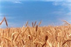 Clássico do campo de trigo Fotografia de Stock