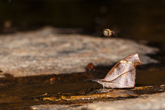Club beak butterfly Stock Photography