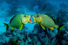 Club de combat de poissons de grognement photo stock