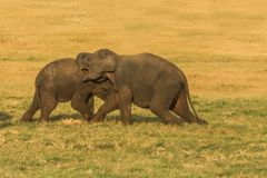 Club di lotta degli elefanti Fotografie Stock Libere da Diritti