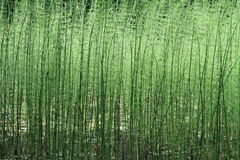 Club moss. Long club moss in a pond Stock Image