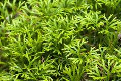 Club moss. Licopodium sp., the club moss Royalty Free Stock Photo