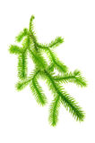 Club Moss (Lycopodium Clavatum) Branch. A green brunch of club moss (lycopodium clavatum) isolated on a white background Stock Images