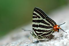 Club silverline butterfly. Of Thailand background Royalty Free Stock Image