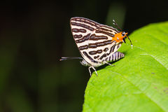 Club silverline butterfly Stock Photography