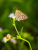 Club silverline butterfly Royalty Free Stock Photo