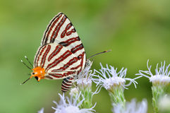 Club silverline red butterfly Royalty Free Stock Photos