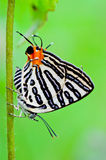 Club Silverline,Spindasis syama terana. White butterfly with orange tail in Thailand Stock Photo