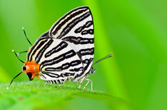 Club Silverline,Spindasis syama terana. White butterfly with orange tail in Thailand Stock Image