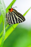 Club Silverline,Spindasis syama terana. White butterfly with orange tail in Thailand Royalty Free Stock Photography