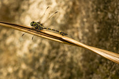Club Tailed Dragonfly on Dead Leaf Royalty Free Stock Images