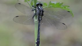 Club-tailed dragonfly sitting on plant stock video