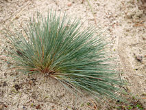 Clubawngrass greyish (gray-haired) (Corynephorus canescens (L.) P. Beauv.) grows on sand Royalty Free Stock Photography