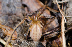 Clubiona species female spider from above Royalty Free Stock Image