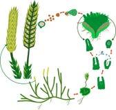 Clubmoss生命周期 石松属的植物clavatum或连续clubmoss的生命周期的图 库存照片