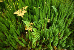 Clubmoss 1 Royalty Free Stock Photos