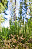 Clubmoss Stock Photo