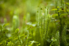Clubmosses natural background Stock Image
