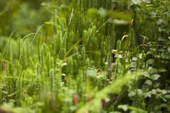 Clubmosses natural background Stock Photography