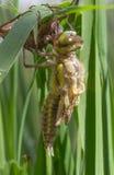 Clubtail comune che emerge dalla sua larva Fotografia Stock Libera da Diritti