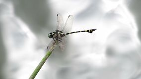 Clubtail dragonfly over the flow stock video footage