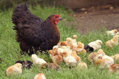 Clucking hen and chicks. In the grass on a farm Stock Photography