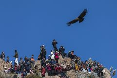 Clueless tourists ignore the condor that flies over them in the viewpoint of the Condor. Peru. The viewpoint of the Condor, on the Colca Valley, is one of the royalty free stock photography