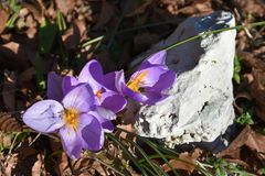 Clues of spring also on the highest mountains. royalty free stock image